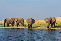 African Elephant (Loxodonta africana) herd feeding along edge of Lake Kariba, Matusadona National Park, Zimbabwe.