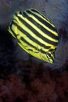 Stripey, Microcanthus strigatus, Yawatano, Sagami bay, Izu peninsula, Shizuoka, Japan, Pacific Ocean