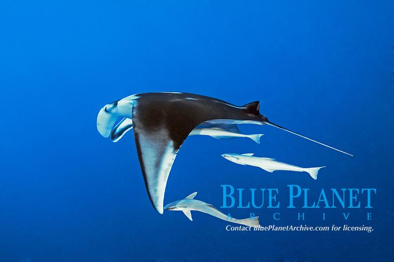 giant oceanic manta ray, Mobula birostris, formerly Manta birostris, with suckerfish, Echeneis naucrates, St. Johns Reef, Saint John´s Reef, South Egypt, Red Sea
