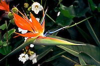 Bird of Paradise flower, Antigua, Guatemala