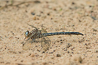 333890001 a wild female ashy clubtail gomphus lividus perches on the ground near a stream in sam houston national forest in san jacinto county texas