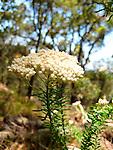 Ozothamnus diosmifolium-White Dogwood