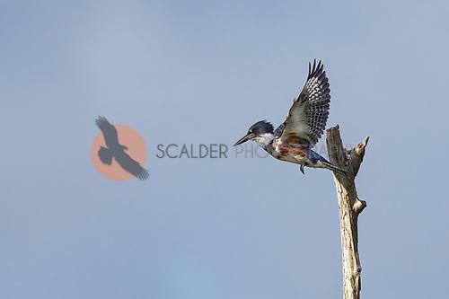 Female Belted Kingfisher in flight