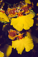 Oncidium gardneri, orchid species indigenous to  southern and southeastern Brazil