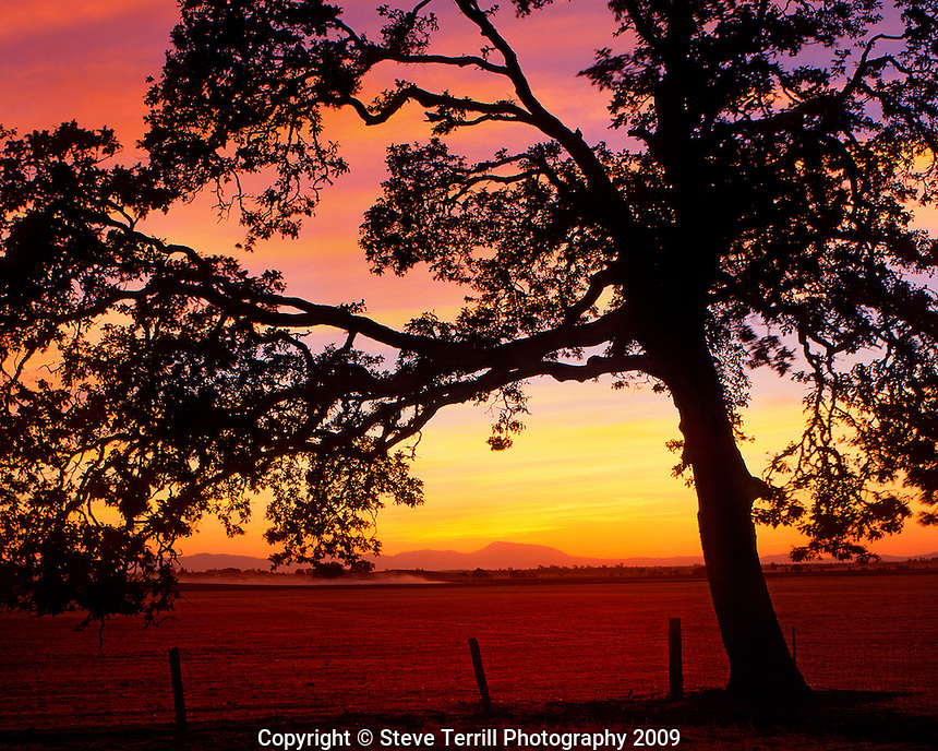 Oak tree in field silhouetted against the sunset in the Willamette Valley, Oregon