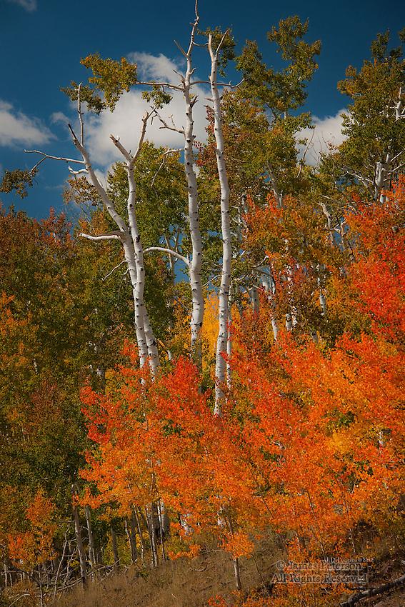 Red Aspens on Boulder Mountain, Utah
