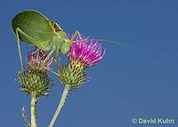 0815-0909  Common True Katydid (Northern True Katydid), Pterophylla camellifolia © David Kuhn/Dwight Kuhn Photography