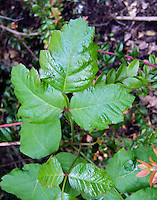 The shiny leaf of the poison oak plant is caused by urushiol oil the part that causes an allergic reaction in most people.
