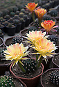 """16/05/16 <br /> <br /> Astrophytum - Brian's favourite.<br /> <br /> Britain's biggest cactus grower attributes the recent hot weather for his current winning streak at national flower shows, something he hopes to repeat later this month at RHS Chelsea.<br /> <br /> Full story here:  http://www.fstoppress.com/articles/winning-streak-for-blooming-cactus/<br /> <br /> .But a few days ago it was almost too hot for his prickly blooms and he had to pump in cooler air from outside to cool down his giant 22,000 sq ft greenhouse.<br /> <br /> And now, as you enter the greenhouse, you're met with a brilliant display of colour, almost every cactus is in full bloom, a patchwork of bright yellow and orange, subtle pinks and deep red flowers.<br /> <br /> """"There's probably about one hundred thousand plants in here, and most of them are already showing flowers,"""" said owner Bryan Goody, who runs the nursery with his wife Linda and daughter Eleanor.<br /> <br /> <br /> All Rights Reserved: F Stop Press Ltd. +44(0)1335 418365   +44 (0)7765 242650 www.fstoppress.com"""
