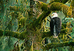 Bald Eagle, Southeast Alaska