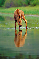 Young Moose calf checks it's reflection in pond.  Western U.S., June.
