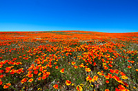 Thousands of beautiful, blooming springtime flower landscape, in Poppy State Natural Reserve of Antelope Valley, north of Los Angeles California