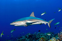 This Caribbean reef shark, Carcharhinus perezii, appears quite healthy despite a fish hook that is lodged in its jaw. Little Bahama Bank, Bahamas, Atlantic Ocean