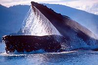 humpback whale, Megaptera novaeangliae, lunge feeding, Alaska, USA, Pacific Ocean