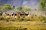 Red deer, females