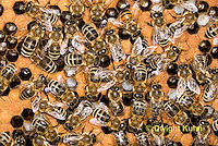 1B14-506z  Honeybee Hive with Worker tending larvae, open cells containing larvae, sealed worker cells, Apis Mellifera, Race Carniolans