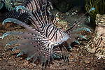 red lionfish, full body view displaying fins 45 degrees to camera