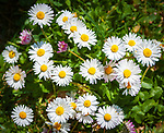 Gaensebluemchen (Bellis perennis), eine Pflanzengattung in der Familie der Korbbluetler (Asteraceae) | Bellis perennis is a common European species of daisy, a genus of flowering plants in the family (Asteraceae)