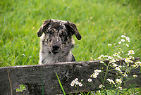 This face: Mixed breed dog in meadow looking over fence, Vermont USA
