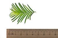 Urweltmammutbaum, Urwelt-Mammutbaum, Chinesisches Rotholz, Metasequoie, Wassertanne, Metasequoia glyptostroboides, dawn redwood, sapin d'eau