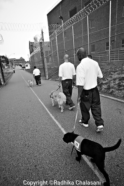 BEACON, NEW YORK-AUGUST: Tyrone, Roberto and Andy take their puppies to a medical facility to visit sick prisoners as part of the Puppies Behind Bars program. The patients look forward to the visits which are also used as a training exercise for the puppies who will work as service dogs. The program works with prison inmates in New York, New Jersey, and Connecticut to train both explosive detection dogs and service dogs, including ones who help injured soldiers or those suffering from post traumatic stress. Fishkill Correctional Facility is a medium security prison in New York with 22 men in the puppy program.