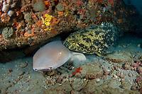 A Nurse Shark (Ginglymostoma cirratum) and Goliath Grouper (Epinephelus itajara) share a ledge in Juno Beach, FL.