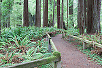 Trail in Redwoods, Redwood National Park, Prairie Creek Redwoods State Park, California, USA  Salmon berries and huckleberries cover the forest floor while Coast Redwood rise into late evening light.  Del Norte Coast south of Crescent City, California near the Smith River.  Redwood National and Redwood State Parks include numerous camp grounds, rivers, hiking, fishing, camping, photography, birding, biking and other outdoor adventures. Long exposure at dusk.  Represented at www.spacesimages.com
