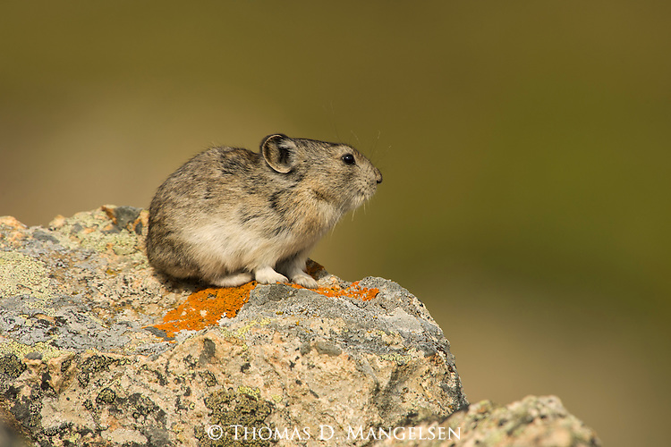 Portrait of a collared pika sitting on a rock in Denali National Park, Alaska.