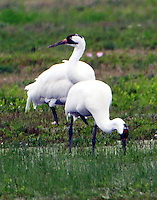 Whooping crane pair. This pair was part of a small group of cranes feeding in the pasture on 8th street in Lamar adjacent to St Charles Bay. The cranes have come to this area for the past several years to feed at corn feeders set up by various property owners during the years of drought. This year there has been abundant rain so perhaps the birds will return to natural feeding patterns. This sequence of photos was taken on March 19, 2015.