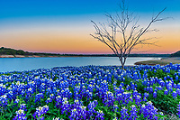 Texas Bluebonnets at the Lake Sunset - We came to this location along the water several times to capture both sunrise and sunset of these wonderful bluebonnet wildflowers at the lake edge.  Capturing good bluebonnets is a matter of luck many times and we were lucky that this area had bluebonnet wildflowers again after the lake went back down which allowed them to come back.  We like this little leafless tree that was positioned along the waters edge and decided to use it in our capture.  The Texas hill country dry river bed came back to life this year after the waters went down along the colorado river and this field of bluebonnets popped up.  It was delightful to see the field of wildflowers again not as much as the first time years ago, but still wonderful.  Spring time in the Texas hill country can be magical when fields of wildflowers appear in great numbers.  We live not far from here so we came here many times till word got out and the bluebonnet got trampled down. The texas hill country has been one of the best places to capture pictures of bluebonnets landscapes in the past and we can only hope forever. Taking pictures of bluebonnets is one of our favorite things to capture. There are many varieties of bluebonnets in Texas from the chiso bluebonnet, to the sandyland and of course the Lupinus texensis lupine,  has been the state flower since the 1901 and all other bluebonnets were included in 1971 by the Texas Legislature which made all lupines in the state the state flower.  For most the most popular is the Lupinus texensis or texas bluebonnet which are here in the hill country which range in color from blue to violet shade depending on the light also the texas hill bluebonnets have the white tops which are said to look like a bonnet which came from when women worked the fields and wore the white bonnets. At least that one of the stories about the bluebonnets i have read.