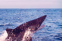 great white shark, Carcharodon carcharias, breaches to attack South African (Cape) fur seal pup, Arctocephalus pusillus pusillus, False Bay, South Africa (5 of 5)