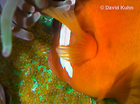 0322-1113  Tomato Clownfish Tending Eggs, Amphiprion frenatus  © David Kuhn/Dwight Kuhn Photography