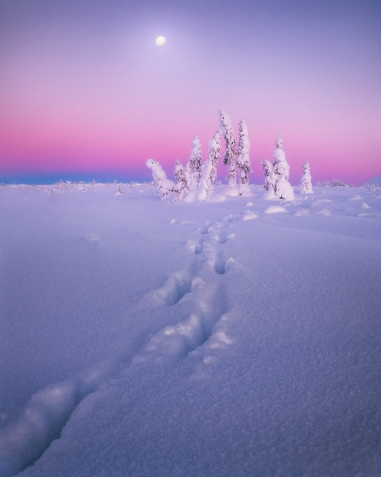 Fresh moose tracks lead to a small grove of trees dressed in rime ice, as the moon sets and temperatures reach -20F.