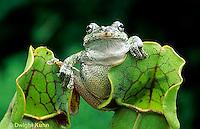 CA01-012z  Gray Tree Frog - on carnivorous pitcher plant - Hyla versicolor