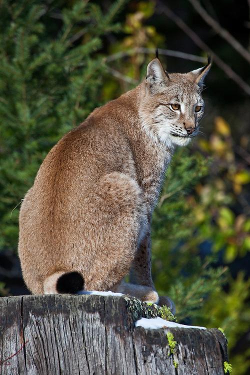 Siberian Lynx sitting on a snowy stump - CA