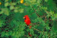 Male Northern Cardinal (Cardinalis cardinalis) sitting in bush.  Spring.