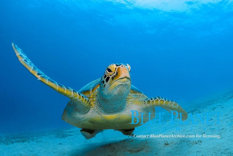 Philippines, Coral Triangle 2008, Green sea turtle, Chelonia mydas