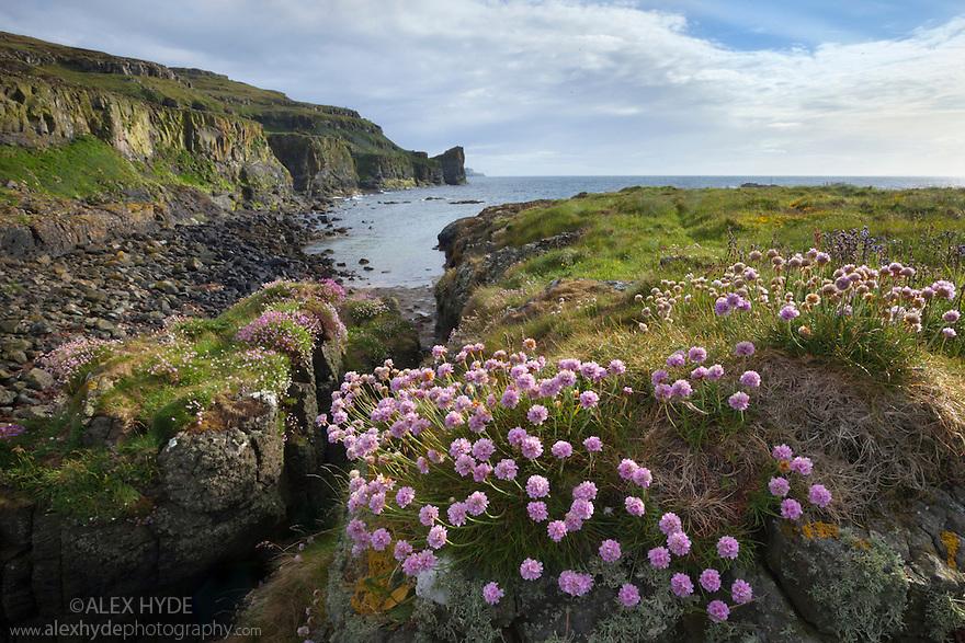 Flowering thrift {Armeria maritima}, Isle of Lunga, Treshnish Isles, Inner Hebrides, Scotland, UK.