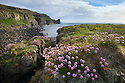 Flowering thrift {Armeria maritima}, Isle of Lunga, Treshnish Isles, Inner Hebrides, Scotland, UK.