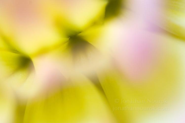 close-up of a dahlia flower