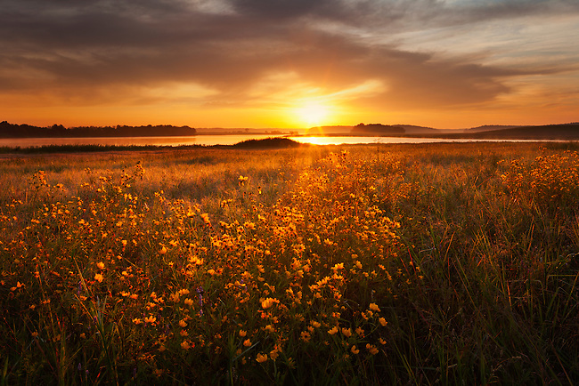 Sunrise and sunflowers on Big Sandy River