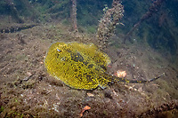 Yellow spotted stingray Urobatis jamaicensis. This ray's very unusual colouration probably results from its chosen habitat, Oyster Bed Lagoon, Utila, Honduras, Caribbean, Atlantic