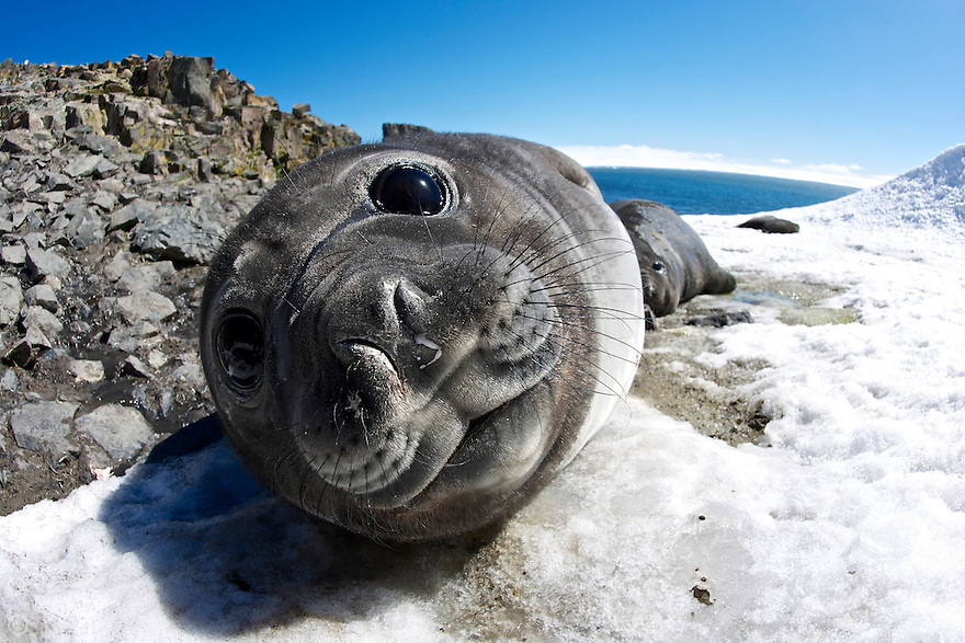 An elephant seal weaner rests in the snow on Livingstone Island in the South Shetlands.