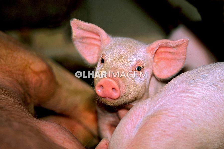 Animais. Mamiferos. Criação de porcos( Sus serofa domesticus). MG. Foto de Juca Martins.