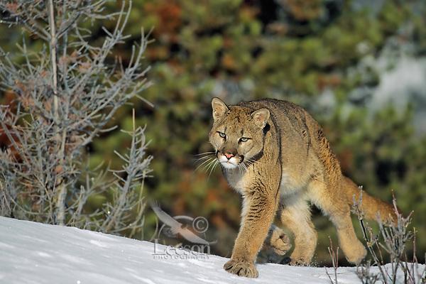 Mountain Lion or cougar (Felis concolor), Western U.S.