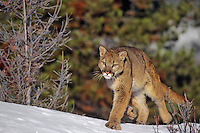 Mountain Lion or cougar (Felis concolor), Western U.S.