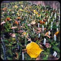Botanischer Garten in Berlin-Steglitz.<br /> Setzlinge der Erica camea in der Anzucht.<br /> 5.12.2020, Berlin<br /> Copyright: Christian-Ditsch.de