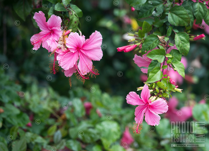 Beautiful pink hibiscus blossoms on O'ahu.