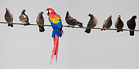 Macaw and Pigeons sitting on wire.