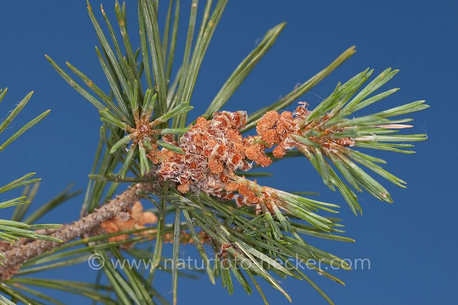Wald-Kiefer, Waldkiefer, Gemeine Kiefer, Föhre, Pinus sylvestris, Scots Pine
